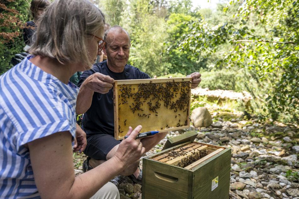 Imker Falko Heinrich (63) öffnet den Bienenstock, Sabine Petri (57) markiert neun Drohnen für den Wettflug.