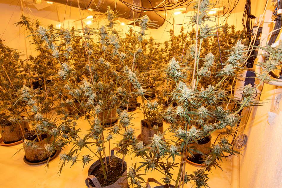Drogenfahnder haben in einem Düsseldorfer Wohnhaus etwa 260 Hanf-Pflanzen gefunden.