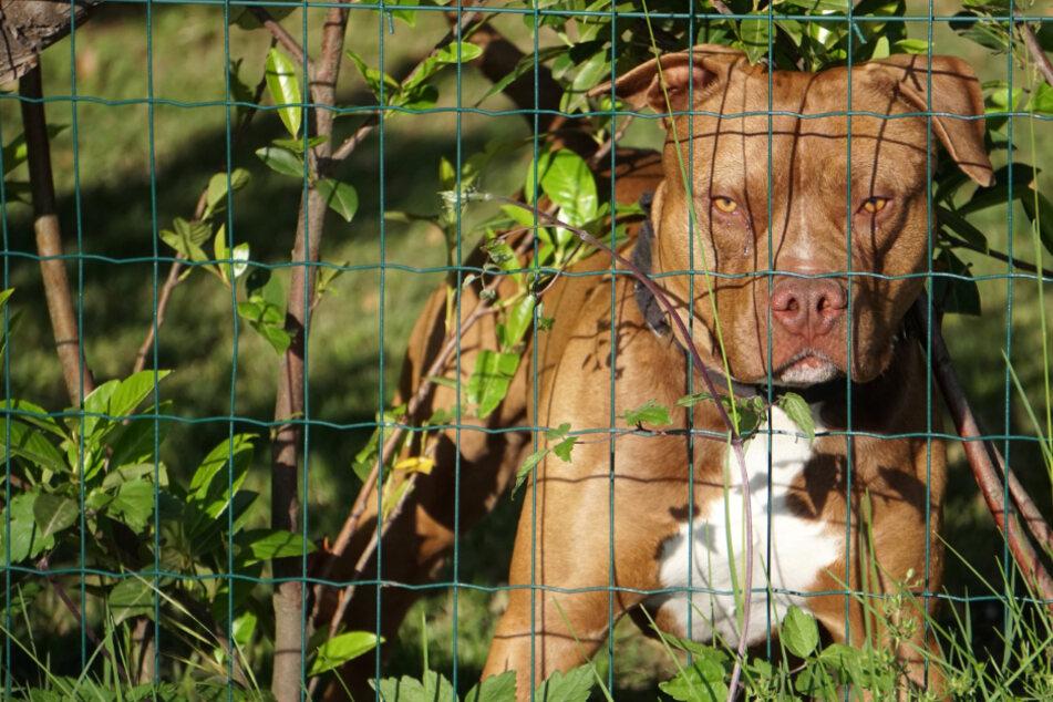 Entsetzliches Hunde-Drama: Gehörloser, stummer Junge (†3) von Pitbull getötet