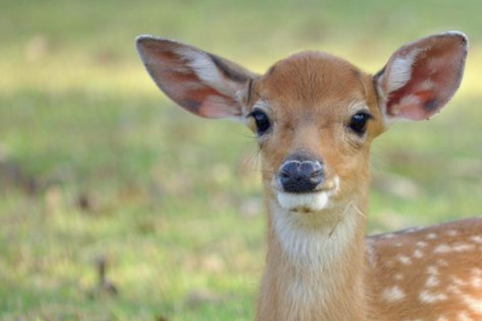 Bambi klaut erst Salat auf Grundstück und findet dann den Weg nicht mehr heraus