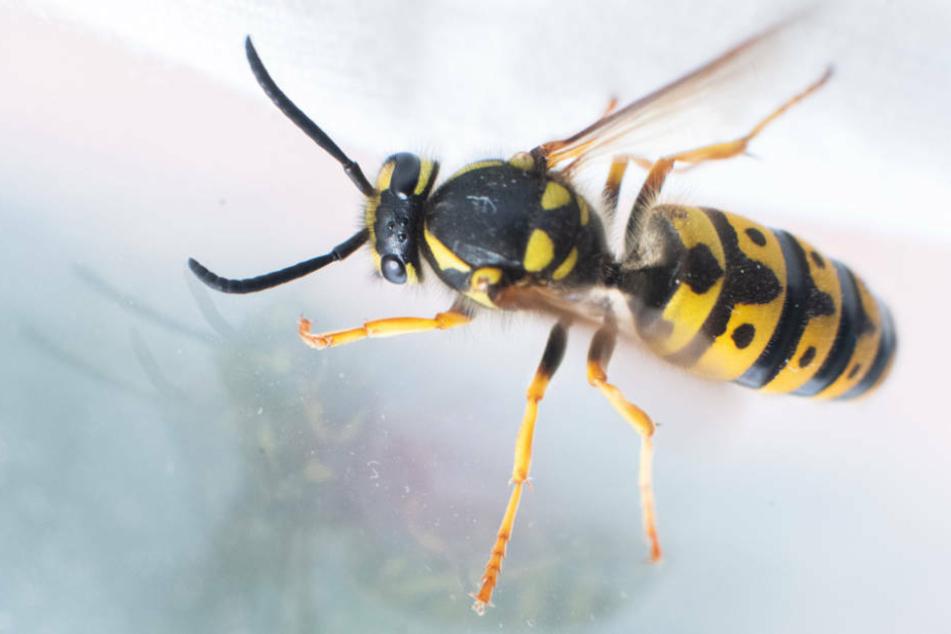 Wespen sind nicht aggressiv, dafür aber sehr kurzsichtig (Symbolbild).