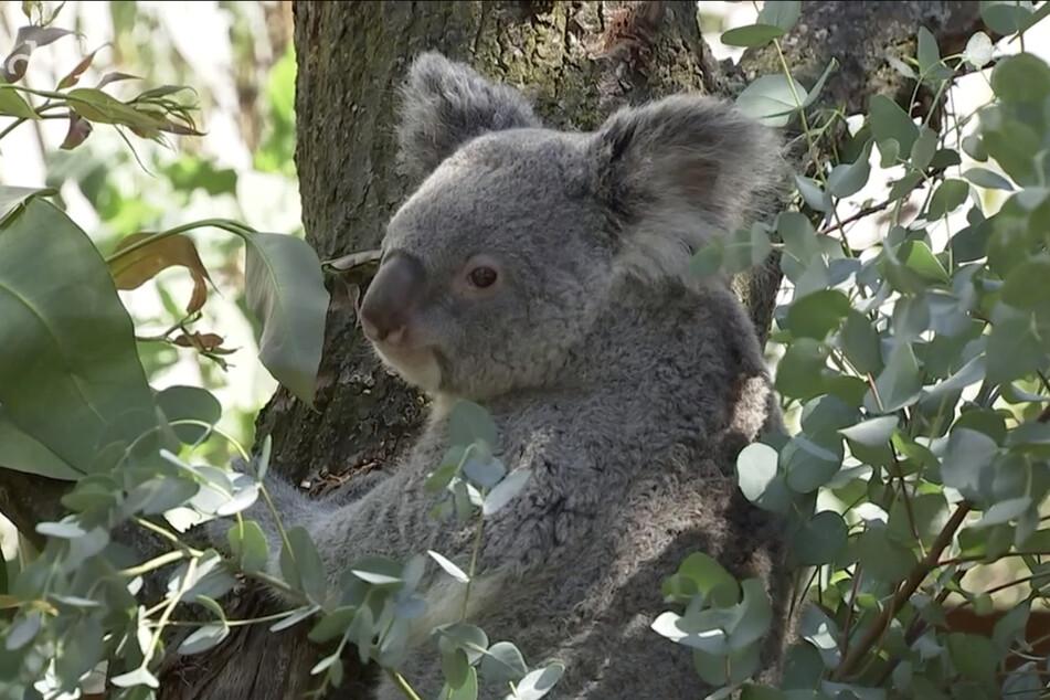 """Koala-Dame """"Mandie"""" versucht bei allen Bewegungen, ihren Beutel zu entlasten."""