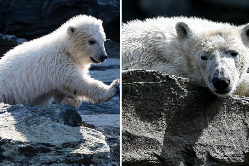 Ist die groß geworden: Eisbärin Hertha wird zwei!