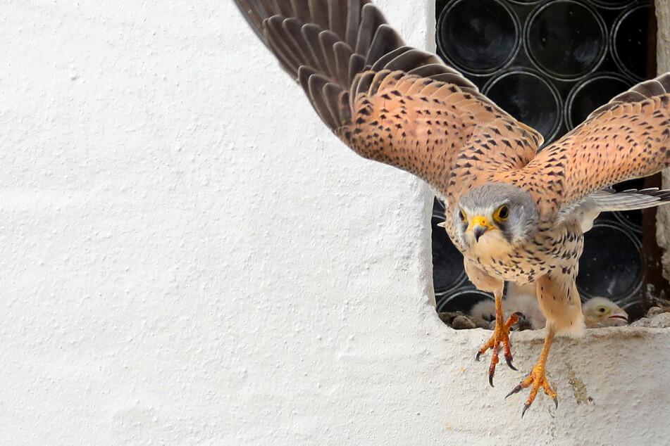 Irre: Falke klaut Radfahrer die Mütze vom Kopf!