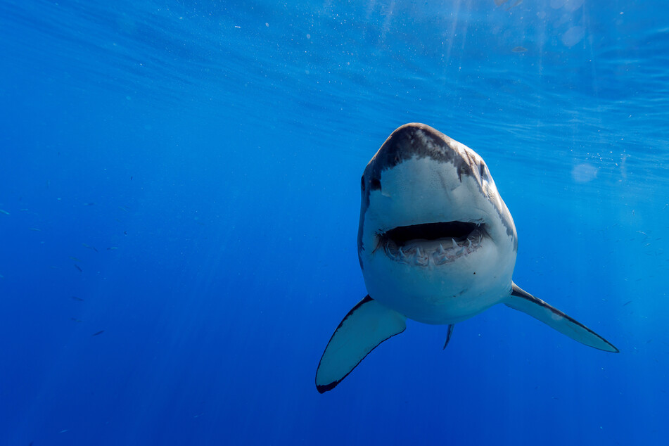 Ein australischer Taucher ist von einem Hai angegriffen und tödlich verletzt worden. (Symbolbild)