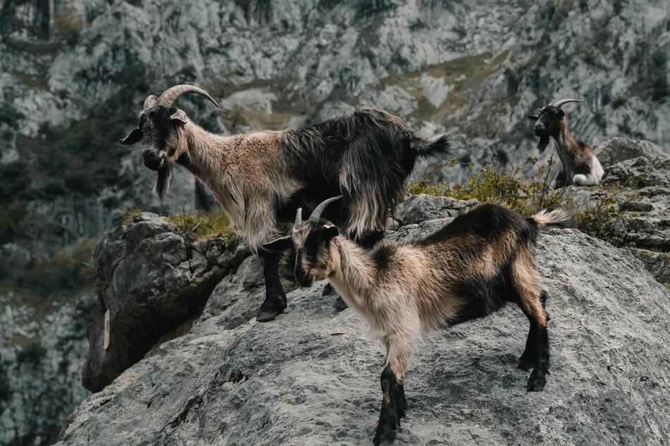 Ziegen auf Sizilien sollen 2012 einen drohenden Vulkanausbruch bereits Stunden vorher rechtzeitig erkannt haben.