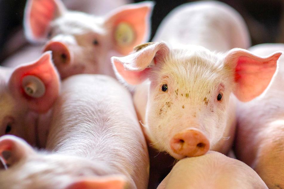 Oink! So viele Schweine werden in Bayern gehalten