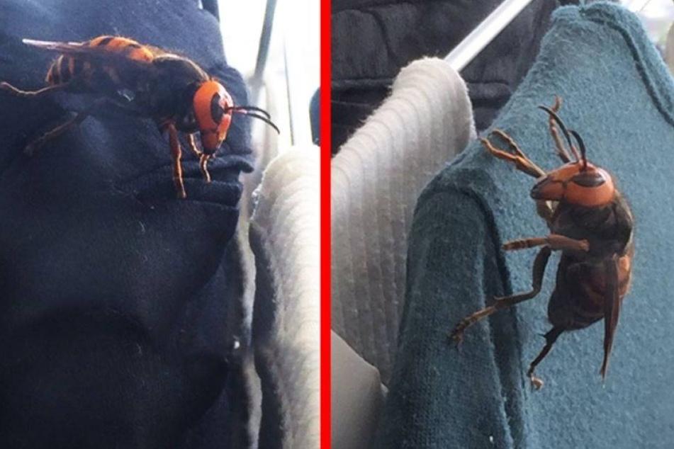Frau entdeckt Monster-Hornisse in ihrem Schrank