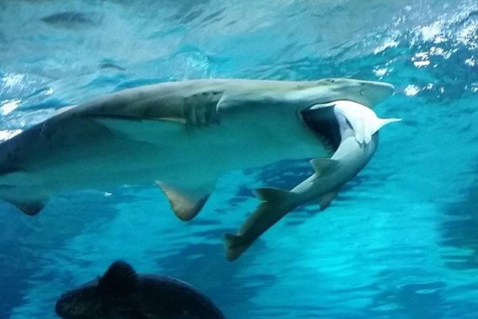 Aquarium-Hai frisst Artgenossen vor laufender Kamera