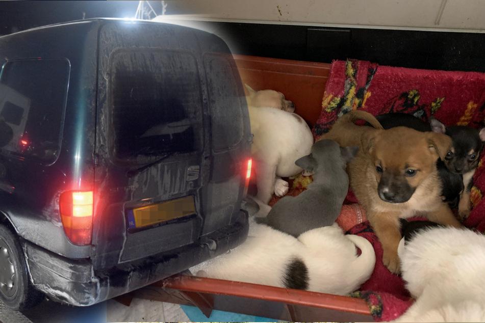Süße Welpen, bitteres Leid: Hunde-Schmuggel boomt wie nie