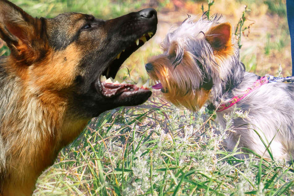 Mädchen (10) geht mit Yorkshire Terrier Gassi: Als ein Schäferhund auftaucht, beginnt blutiges Drama