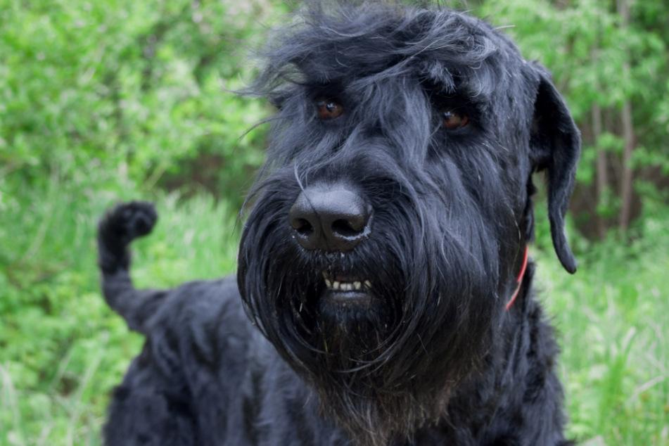 50-Kilo-Terrier geht auf andere Hunde los: Halterin muss sattes Schmerzensgeld zahlen
