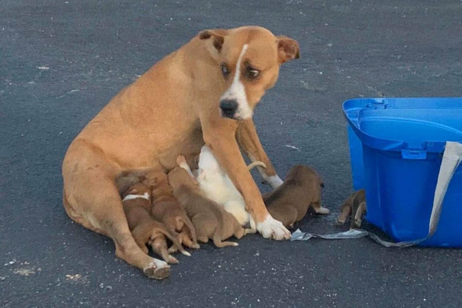 Hund wird verletzt vor Kirchenparkplatz mit neun Welpen ausgesetzt