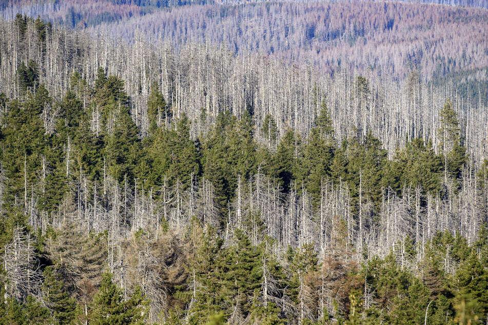 Ein Waldstück mit abgestorbenen Fichten an den Hängen des Brockens. Das Waldsterben in Deutschland wird in den letzten Jahren immer schlimmer. (Symbolbild)