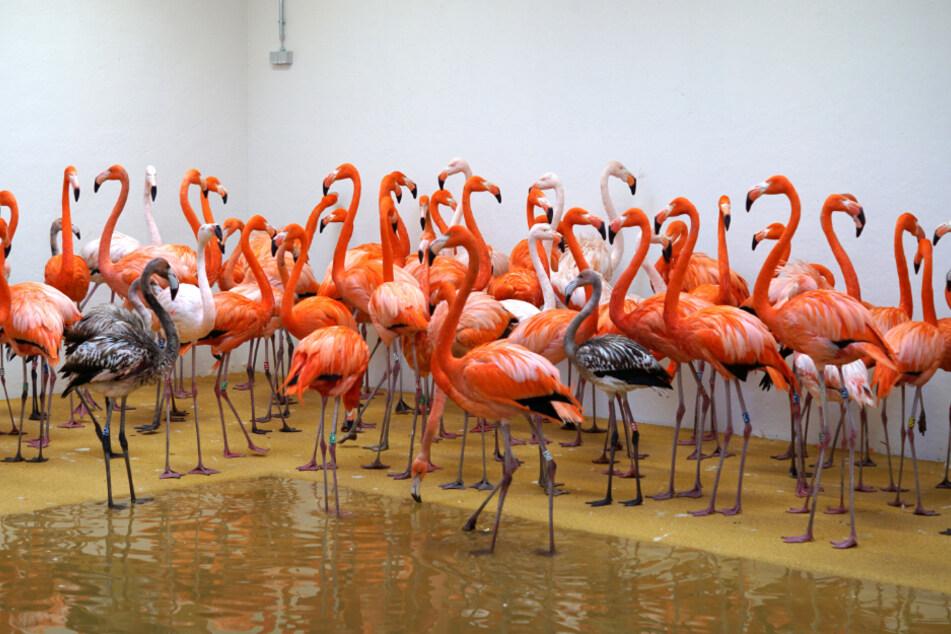 Nicht einmal drei Stunden - dann standen die Flamingos im Winterquartier.