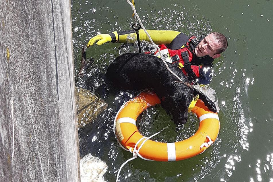Hund völlig hilflos: Feuerwehr muss Labrador mit Schwimmring retten