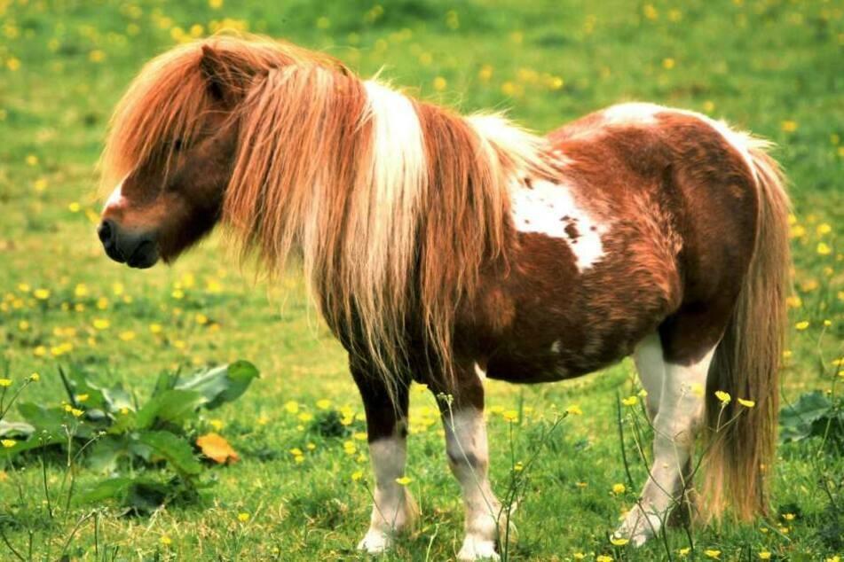 Ein unbekannter Täter quälte ein Shetland-Pony bei einem Stall im westfälischen Legden. (Symbolbild)