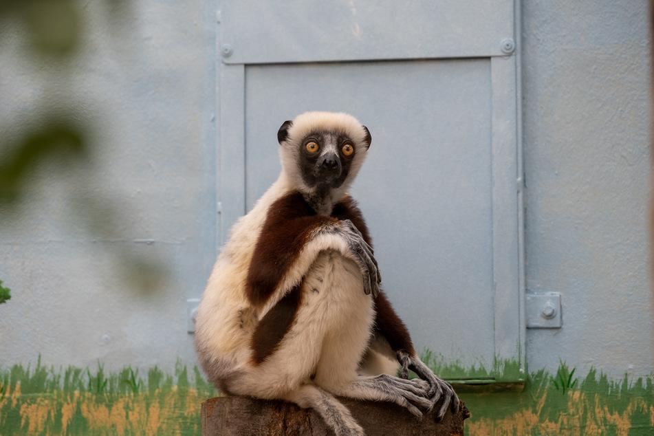 Langsam gewöhnen sich die beiden Coquerel-Sifaka-Äffchen an ihr neues Zuhause. Seit Mai leben Ziggy und Justa im Kölner Zoo.