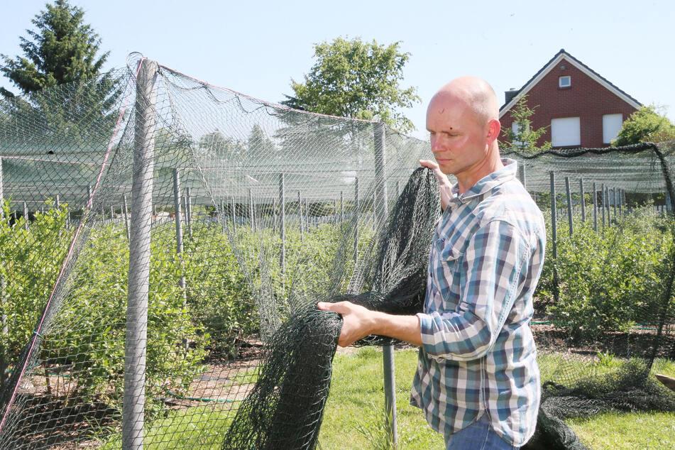 Um die Beeren vor gefräßigen Vögeln zu schützen, überspannte Praktiker Uwe die Flächen mit einem Netz.