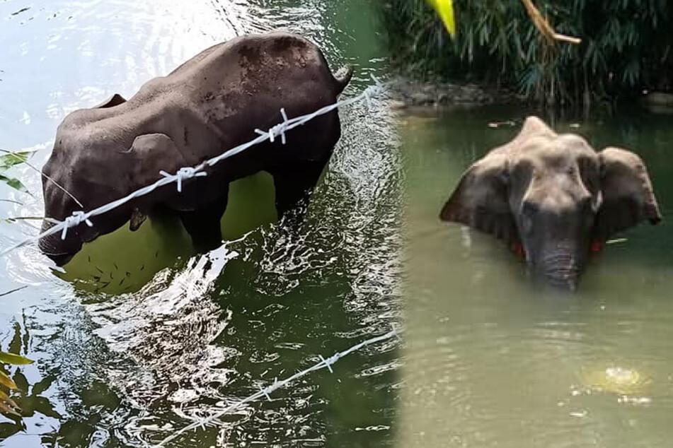 Schrecklicher Vorwurf: Trächtiger Elefant mit Feuerwerkskörper gefüttert