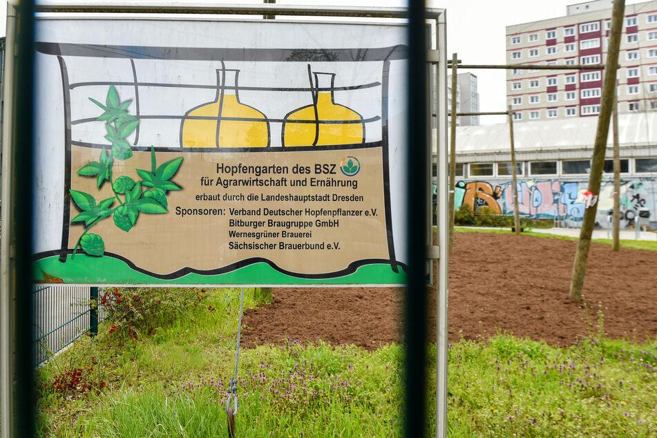 Im schuleigenen Hopfengarten pflanzen die Lehrlinge des BSZ nächste Woche 70 neue Pflanzen ein. Die Ernte wird zum Brauen verwendet.