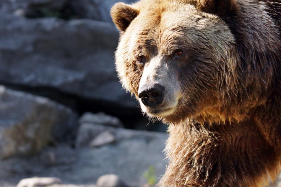Wegen Gold und Kupfer: Mine in Alaska bedroht Braunbären massiv