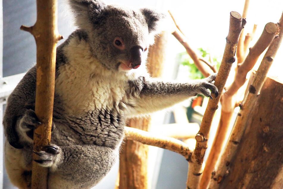 Sensation: Erster Koala-Nachwuchs in Geschichte des Leipziger Zoos
