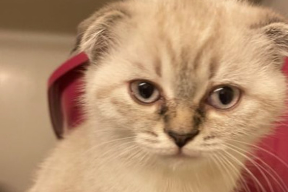 Die kleine Katze mit Knickohren musste ins Tierheim.