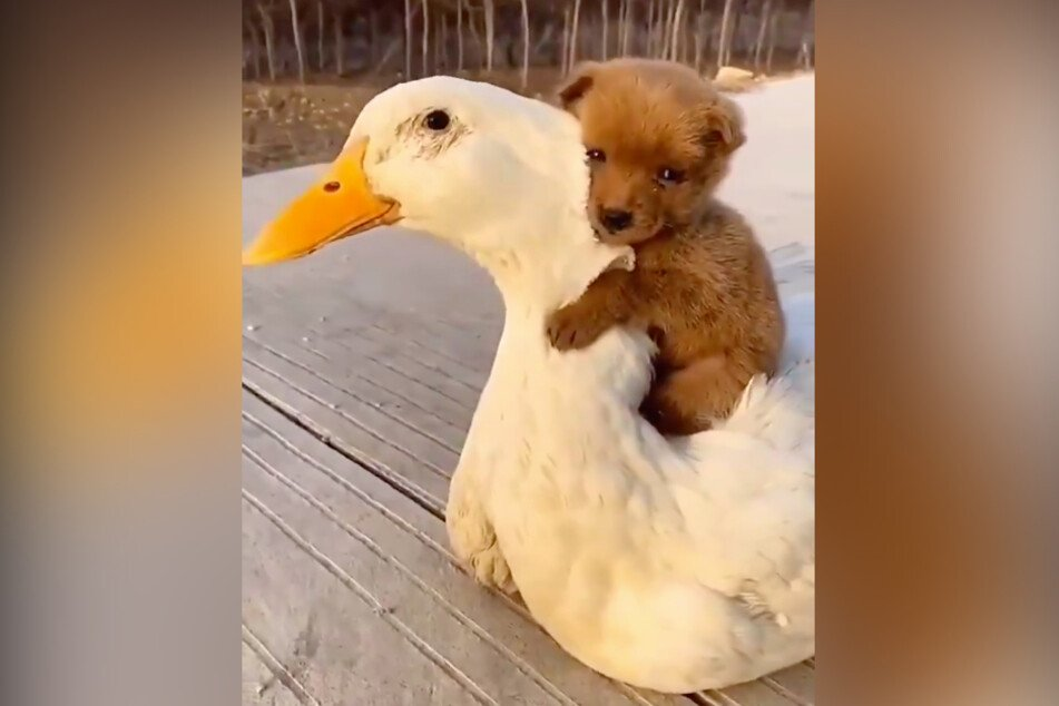 This puppy is riding his feathered friend all the way to viral stardom.