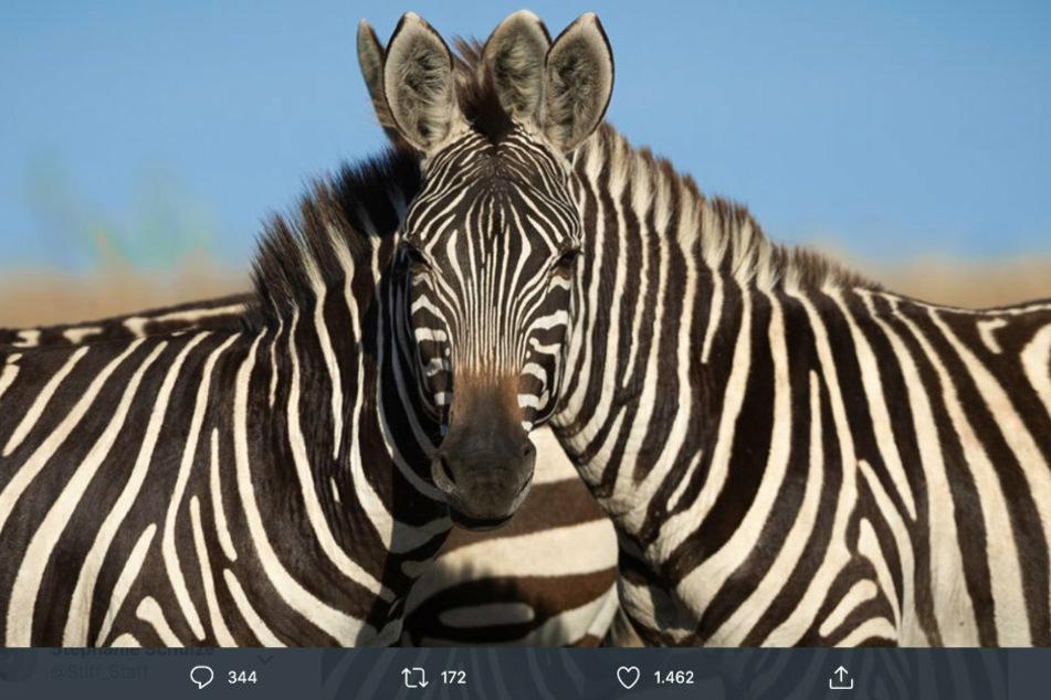 Bild spaltet Twitter: Welches Zebra blickt in die Kamera?