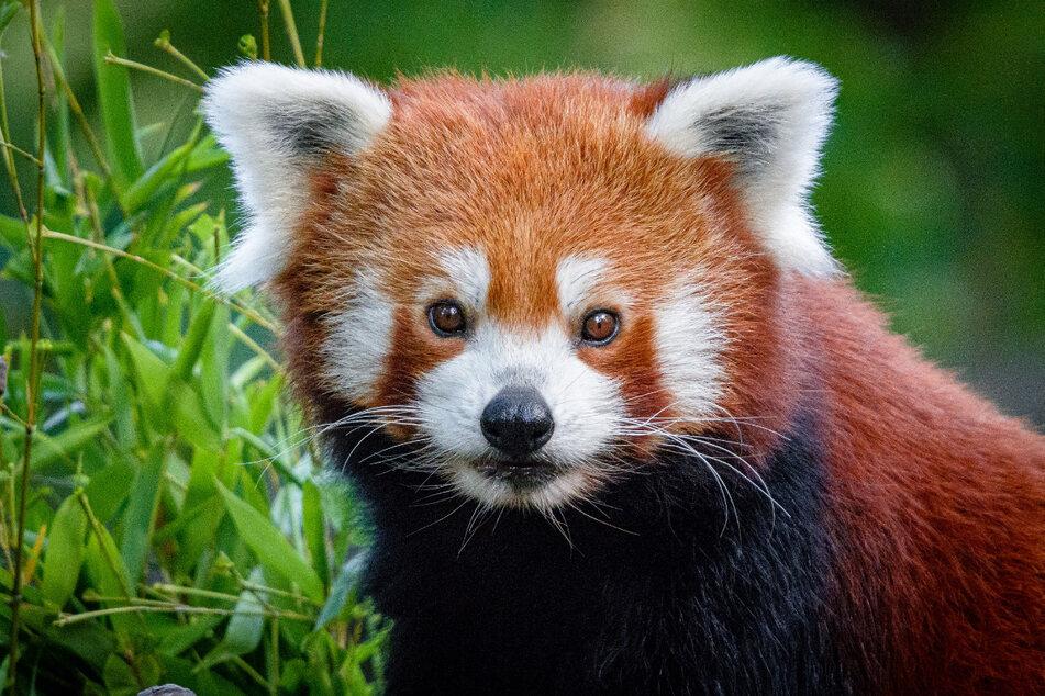 Der Zoo in Duisburg sucht nach einem Roten Pandabären.