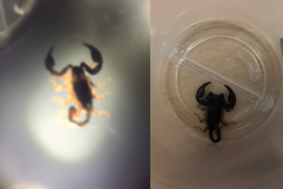 Der Skorpion könnte mit tropischem Obst nach Deutschland gekommen sein.