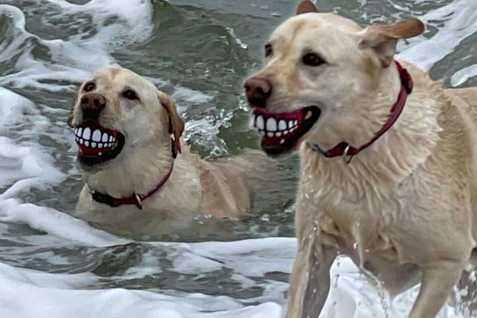 Der Hund Dante trägt in seinem Mund einen Ball mit menschlichen Zahngebiss.