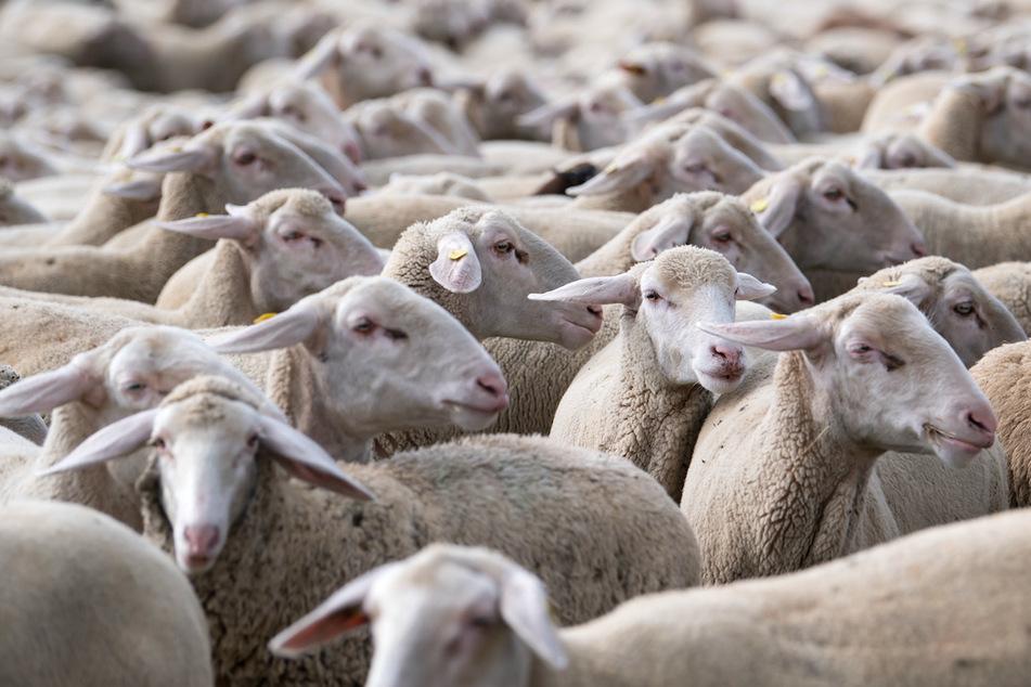 16 Tiere tot: Regionalzug rast mit 100 km/h in Schafherde