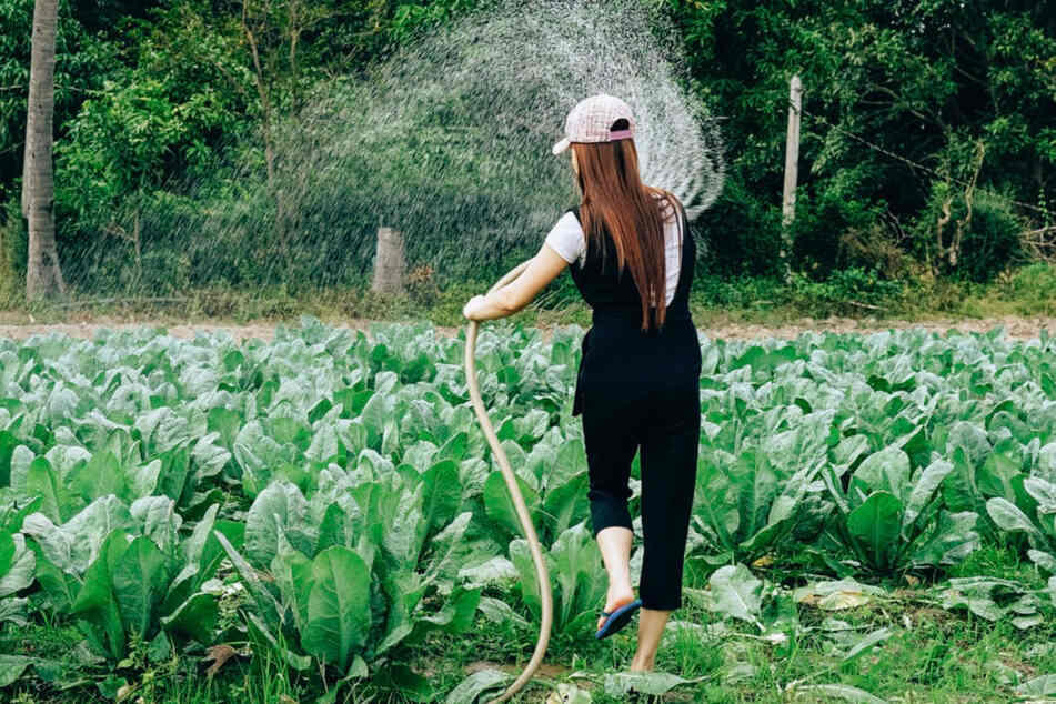 In heißen und trockenen Ländern wird mehr Wasser zum Gießen benötigt als hierzulande, da ein großer Teil direkt verdunstet.