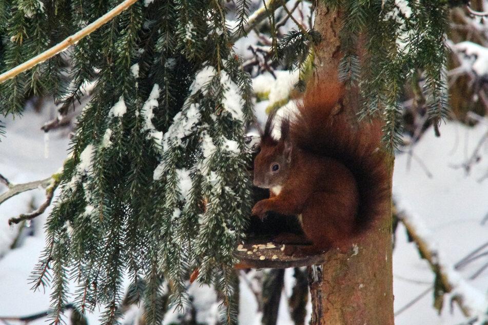 Das Eichhörnchen ruht im Winter meist in seinen geschützten Quartieren, wird aber auch immer wieder wach und sucht Nüsse und andere Nahrung aus den vorher angelegten Vorratsverstecken.