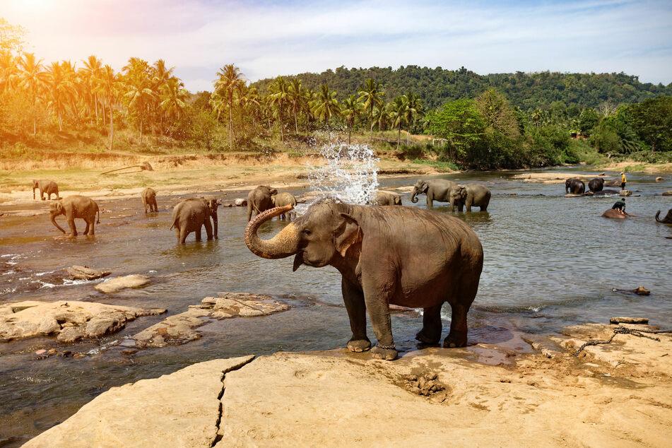 Massensterben von Elefanten: Ist die Krankheit auch für Menschen gefährlich?