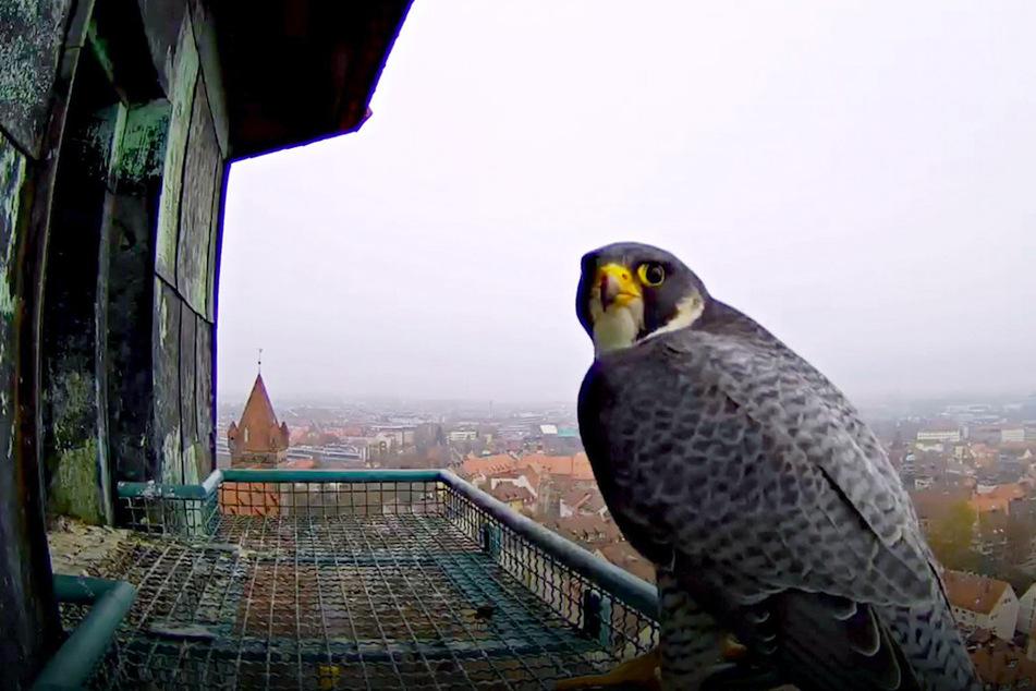 Erwischt! Wanderfalken-Webcam überträgt Live-Bilder ins Internet