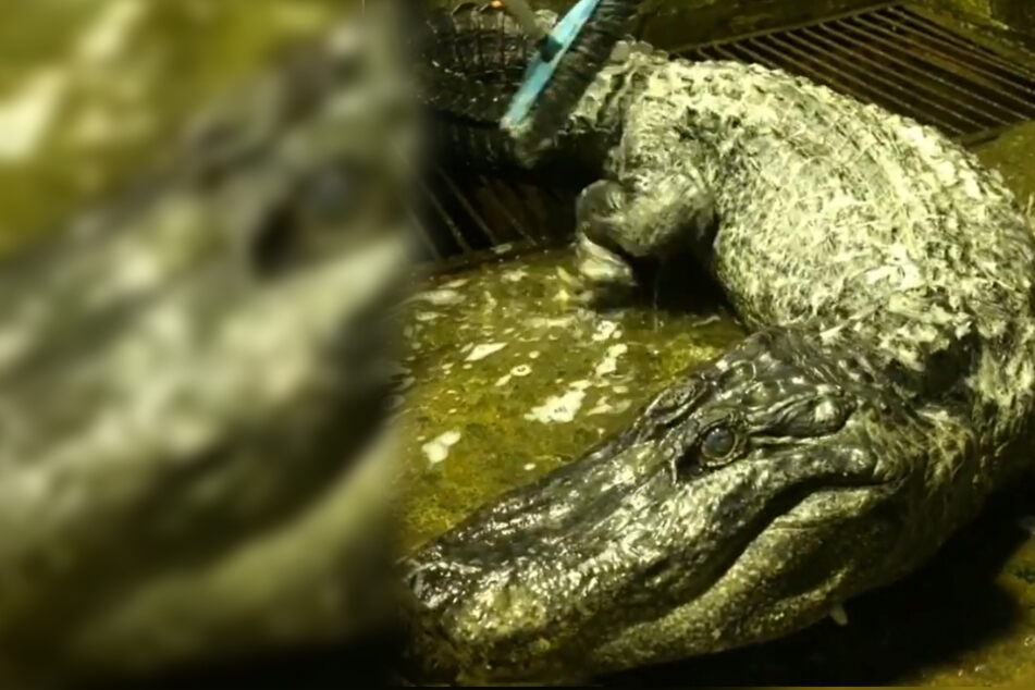 """Im Krieg aus dem Zoo ausgebrochen: """"Hitlers"""" Alligator gestorben"""