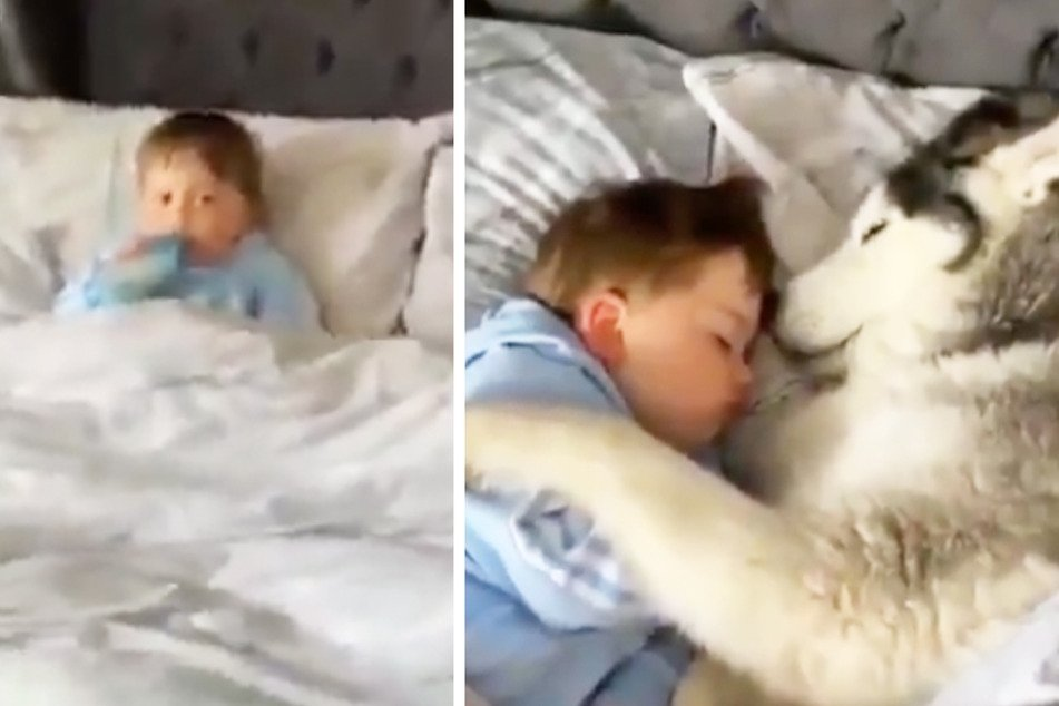 Husky hugs: video of dog cuddling toddler to sleep melts hearts on Twitter