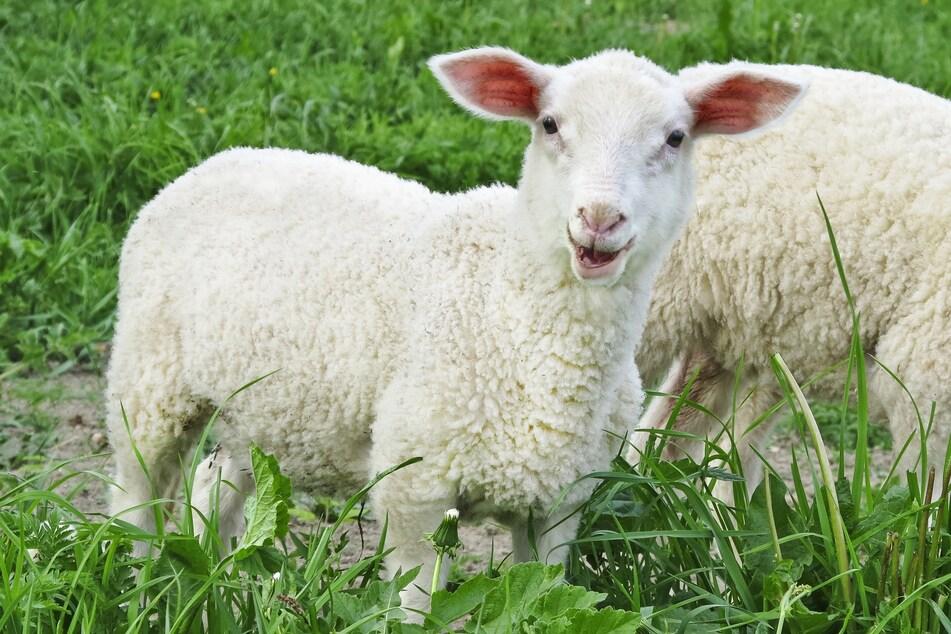 Fußgängerin findet geköpftes Lamm auf Weide
