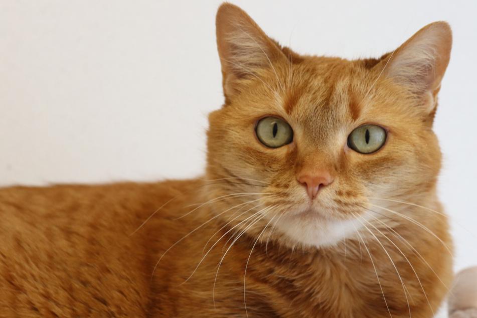 Katze nach Trennung ins Tierheim abgegeben: Rundliche Mina hofft auf neue Familie