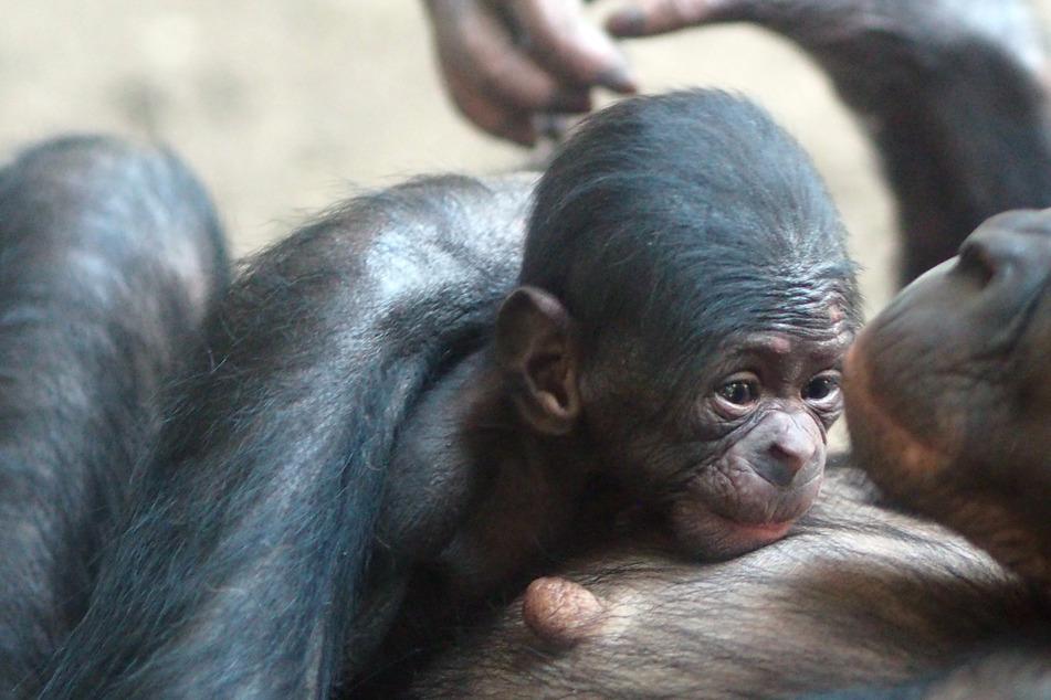 Baby-Alarm im Leipziger Pongoland! Süßer Bonobo erblickt Licht der Welt