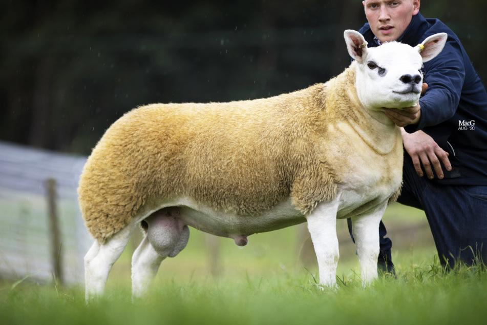 Double Diamond ist nun das teuerste Schaf der Welt.