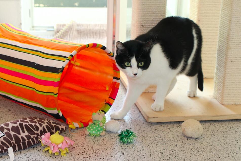 Katze Saskia wurde nach erfolgter Vermittlung wieder im Tierheim abgegeben.