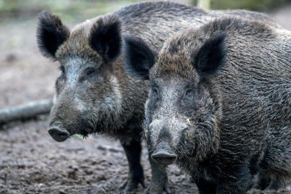 Sachsen-Anhalts Jäger erlegen weniger Wild: Ist Corona Schuld?