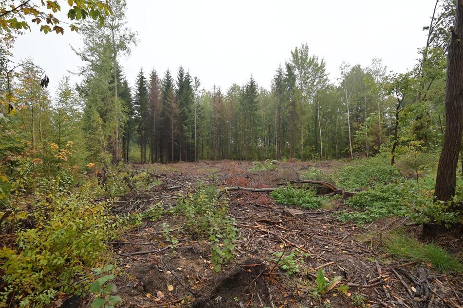 Freibergs Wälder leiden! Im großen Stil muss aufgeforstet werden.