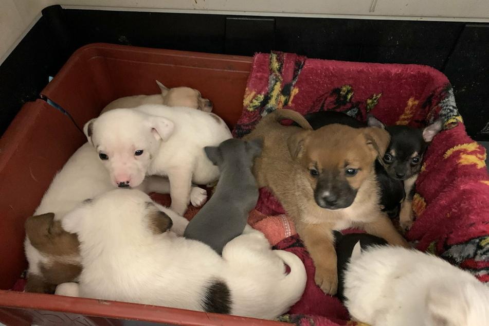 Diese zehn süßen Hundewelpen sollten nach Deutschland geschmuggelt werden.