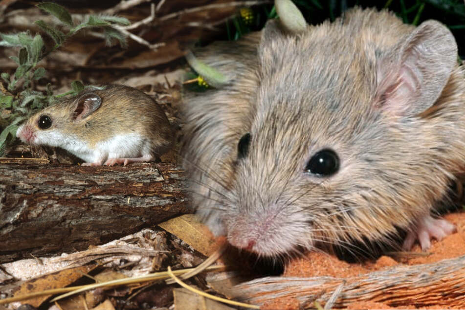 Australian researchers rediscover mouse species considered extinct for more than 150 years!