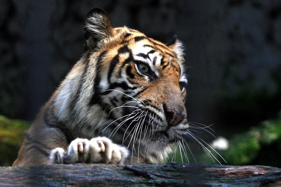 Ein Sumatra-Tiger (Panthera Tigris Sumatrae) in einem Gehege im Zoo von Surabaya.